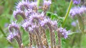 gomos : Purple flowers of Phacelia in the garden. Camera panning Stock Footage