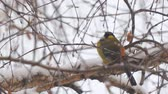 sýkorka : Tit in the snow sits on a birch branch and looks at the snow. Camera panning