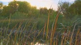 mariposa : Gnus, mosquitoes or midges fly over the lake and reeds, sedge. Camera panning