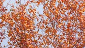 non urban scene : Autumn tree with red leaves and small fruits in the wind. Camera panning Stock Footage