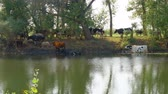 estepe : Cows stand in the water on a hot day escaping from the heat. Camera panning Stock Footage