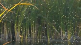蛾 : Gnus, mosquitoes or midges fly over the lake and reeds, sedge. Camera zooming 動画素材