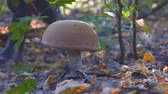 ling : Large white mushroom in the autumn forest. A man is approaching the mushroom Stock Footage