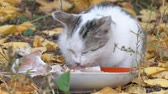 ronronar : White Gray Cat eating its food on the background of autumn leaves Stock Footage