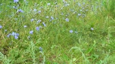 medicina alternativa : Blue flowers on natural background. Flower of wild chicory endive. Meadow grass. Cichorium intybus