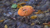 поганка : Small mushroom fly agaric on natural background in forest. Amanita muscaria.