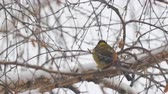 sikorka : Tit in the snow sits on a birch branch and looks at the snow