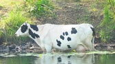 estepe : Cows stand in the water on a hot day escaping from the heat