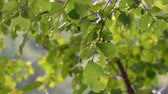 rainstorm : Drops of summer rain on green leaves. Rain in the forest. Selective focus. Camera panning Stock Footage