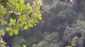 雷雨 : A branch of an oak tree in the summer rain. Rain in the forest. Slow motion 動画素材