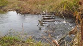 kütük : Little river in the autumn. Water flows in a small river. Water flows through a wooden obstacle Stok Video