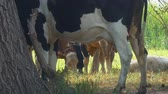 ruminante : Cows stand in the shade of trees in the hot afternoon. Camera zooming out Vídeos