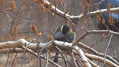 sikorka : Titmouse sitting on a birch tree preening and cleaning its feathers