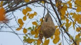 hornets : Wasp nest on an autumn tree among yellow leaves Stock Footage