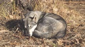 погоня : Dog breed West Siberian Laika sleeps under a tree on dry leaves Стоковые видеозаписи
