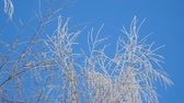 tinted : Branch in hoarfrost on a background blue sky Stock Footage