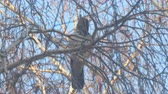 havran : Gray crow on birch branches covered with hoarfrost against a blue sky Dostupné videozáznamy