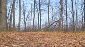 houtrot : Dry autumn leaves on the ground and rare bare trees against the blue sky. Camera panning Stockvideo