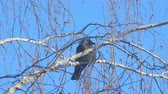 havran : Jackdaw sitting on the branch of a birch on a background of blue sky