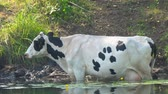 estepe : Cows stand in the water on a hot day escaping from the heat. Camera zooming Stock Footage