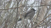ладья : Gray crow sitting on a birch tree on a cloudy day and cleans the wings and feathers