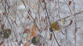 feeder : Siskins sitting on the branch of a birch and eat the seeds of birch. Camera zooming
