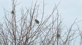 gałązka : Sparrows sitting on the bare branches of a Bush on a cloudy day Wideo