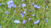 medicina alternativa : Blue flowers on natural background. Flower of wild chicory endive. Meadow grass. Cichorium intybus. Camera paning