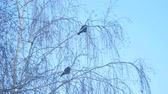 havran : Jackdaw sitting on the branch of a birch on a background of blue sky. Camera zooming