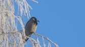 perché : Gray crow on birch branches covered with hoarfrost against a blue sky Vidéos Libres De Droits