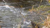 kütük : The water in the stream flows through a wooden obstacle. Camera panning Stok Video