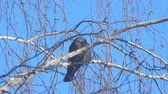 semi : Jackdaw sitting on the branch of a birch on a background of blue sky.. Camera zooming