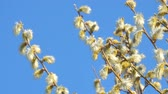 punci : Willow branches with fluffy buds against the blue sky
