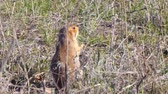 esquilo : Gopher eats grass after hibernation