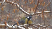 sikorka : Two Titmouse on the branches of birch Wideo