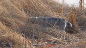 погоня : Dog breed West Siberian Laika hunts in the dry grass. Dog catches mouse