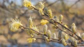 salice : Willow branches with fluffy buds on a natural background