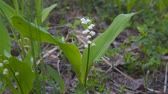 mei : White small Lily of the valley flower. Convallaria majalis