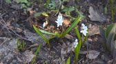 soğanlı : Little white flower. White Scilla. Camera panning Stok Video