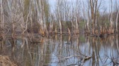mysterious : Dead dry tree trunks on an old pond or wetland. Camera panning