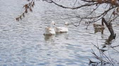 gęś : Two white goose floating on the water of the pond Wideo
