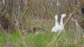 gęś : White and gray geese walk through the grass and graze