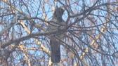 bird of prey : Gray crow on birch branches covered with hoarfrost against a blue sky. Camera zooming Stock Footage