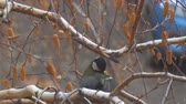 perché : Titmouse sitting on a birch tree preening and cleaning its feathers