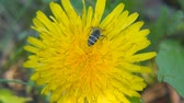 нектар : A bee collects pollen on a dandelion. Close up