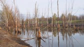 길게 나부 끼다 : Dead dry tree trunks on an old pond or wetland. Camera panning