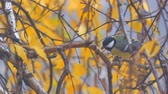 kismadár : Titmouse on a birch branch among the yellow autumn leaves pecks his food