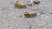 sprinkhaan : Locust crawling on an asphalt road. Locust invasion. Selective focus