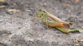 sprinkhaan : Locusts on the ground. Macro, close-up. Locust invasion. Selective focus