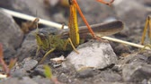 sprinkhaan : Locusts lay their eggs in the ground. Macro, close-up. Locust invasion. Selective focus
